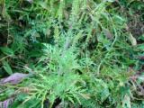 Ambrosia artemisiifolia L. – ambrozija, pelinolisni limundžik, obični limundžik, partizanka